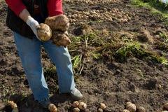 жать хороший сбор картошек Женщина ужинает урожай картошек Стоковые Изображения
