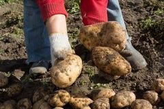 жать хороший сбор картошек Женщина ужинает урожай картошек Стоковые Фотографии RF