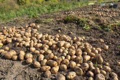 жать хороший сбор картошек Женщина ужинает урожай картошек Стоковые Фото