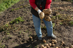 жать хороший сбор картошек Женщина ужинает урожай картошек Стоковое Изображение