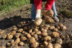жать хороший сбор картошек Женщина ужинает урожай картошек Стоковые Изображения RF