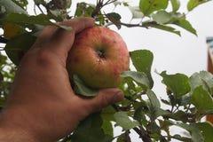 жать яблок стоковые изображения