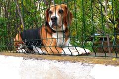 Ждать бигль Стоковая Фотография RF
