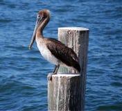 ждать пеликана обеда голодный Стоковое фото RF