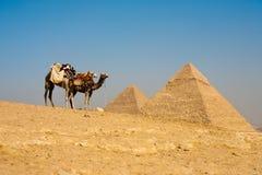 ждать пирамидок khafre cheops верблюдов Стоковые Фотографии RF