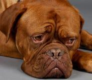 ждать dogot Стоковые Фото