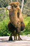 Жевание жвачки пустыни artiodactyl Bactrian верблюда верблюда Стоковые Изображения RF