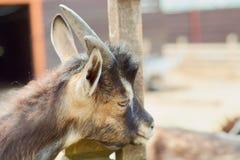 Жевания козы Стоковая Фотография RF