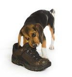 жевать ботинка Стоковая Фотография