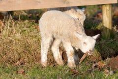 жевать детенышей игры листьев овечек Стоковые Фото
