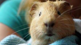 Жевать морской свинки видеоматериал