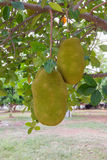 джекфрут на дереве в саде Стоковая Фотография RF