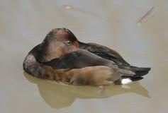 Железистая утка Стоковое фото RF