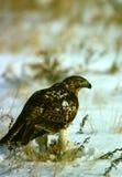 железистый prey хоука Стоковое фото RF