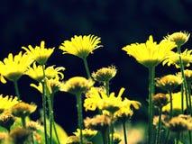 Желтая армия цветков Стоковая Фотография
