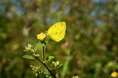 Желтая бабочка есть сладостную воду Стоковое Изображение RF