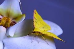 Желтая бабочка кладет над орхидеей Стоковые Фотографии RF