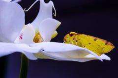 Желтая бабочка кладет над орхидеей Стоковые Фото