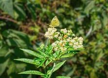 Желтая бабочка на белом цветке Стоковые Изображения