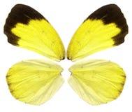Желтая бабочка подгоняет предпосылку изолированную на белизне Стоковые Фото