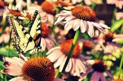 Желтая бабочка среди coneflowers наконечников стоковые изображения rf