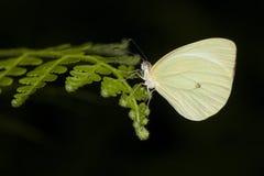 Желтая бабочка сфотографированная в Аргентине Стоковая Фотография