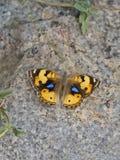 Желтая бабочка pancy Стоковая Фотография