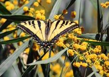 Желтая бабочка swallowtail на желтых цветках стоковое фото rf