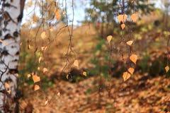 Желтая береза Стоковое Фото