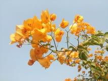 Желтая бугинвилия Стоковая Фотография RF