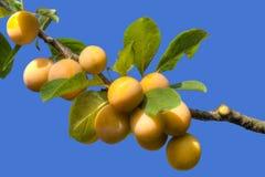 Желтая ветвь сливы Стоковая Фотография