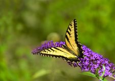 Желтая восточная бабочка swallowtail тигра на фиолетовом цветке Стоковые Фото