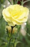 Желтая гвоздика Стоковое Изображение