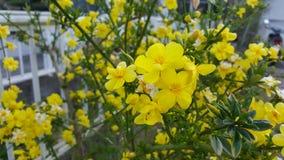 Желтая группа желтофиоли стоковая фотография