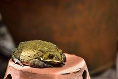 Желтая жаба на глиняном горшке стоковые изображения rf