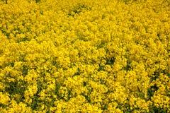Желтая зацветая предпосылка поля рапса Стоковые Фото