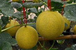 Желтая зрелая дыня приносить с лозами и листьями Стоковые Фото