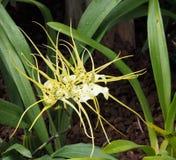 Желтая и белая орхидея с длинными лепестками стоковые изображения