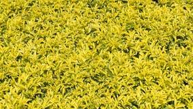 Желтая и зеленая предпосылка листьев Стоковая Фотография