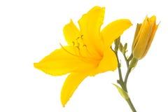 Желтая лилия Стоковая Фотография