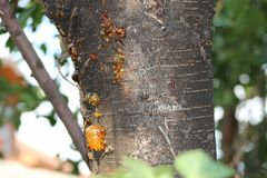 Желтая липкая смола на дереве стоковые фото