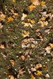 Желтая листва, осень Стоковые Фотографии RF