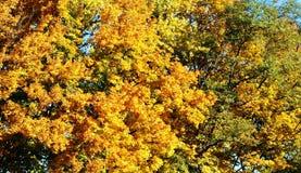 Желтая листва - реальное украшение деревьев стоковые фотографии rf
