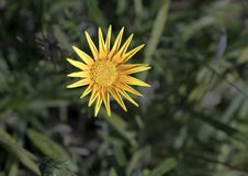 Желтая маргаритка Астра, флора стоковое фото rf