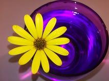 Желтая маргаритка в фиолетовом стекле с водой стоковые фото