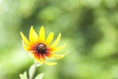 Желтая маргаритка зацветая весной на зеленой предпосылке природы Селективный фокус стоковые изображения rf