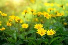 Желтая маргаритка или маргаритка Dahlberg зацветать Стоковая Фотография RF