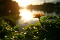 Желтая маргаритка или маргаритка Dahlberg зацветать Стоковое Фото