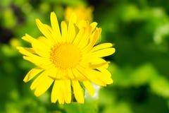 Желтая маргаритка на запачканной предпосылке bokeh стоковое изображение rf