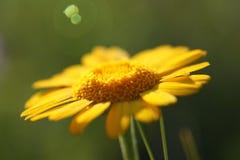 Желтая маргаритка на природе стоковые изображения